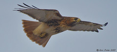 Redtailed Hawk (Arvo Poolar) Tags: outdoors ontario canada scarborough guildinn arvopoolar nikond500 bird birdofprey redtailedhawk inflight wings naturallight nature natural naturephotography