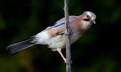 DSC_8841 Geai des chênes (sylvette.T) Tags: garrulusglandarius animal oiseau bird 2019 geaideschênes jay