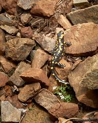 Salamander (Nenad Andonovski) Tags: salamander rocks stones animal animalphotography srbija srbijauslikama nature naturephotography