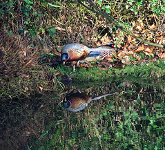 Admiration! (Deepgreen2009) Tags: mirror reflection male cock pheasant admiration image bird pond water garden wildlife