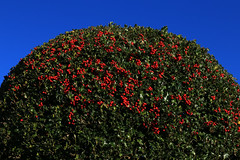 Holly Bush (zeity121) Tags: holly hollyberries berry berries bluesky winter christmas bush hollybush