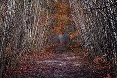 Once upon a time ((Virginie Le Carré)) Tags: arbre tree forêt forest chemin path automne autumn nature naturallight paysage landscape feuille leave allée bouleau birch