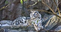 Wachsam / Attentive (schreibtnix on'n off) Tags: deutschland germany köln cologne kölnerzoo colognezoo tiere animals schneeleopard snowleopard unciauncia wachsam attentive olympuse5 schreibtnix