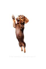 Jumping dachshund (Wieselblitz) Tags: dogs dog dogphotographer dogphotography doginthestudio dogportrait dogsonality pet pets petphotography petportrait petphotographer portrait portraitpet studio studioportrait studiodogportrait studiodog commercialpetphotographer commercialphotography commercialpetphotography commercialdogphotographer commercialdogphotography editorialdogphotographer elkevogelsang editorialphotography editorialdogphotography