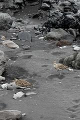 Whimbrels. Punta del Hidalgo. Tenerife. AA8A5463 (mxpa) Tags: puntadelhidalgo birds bird travel fauna watching whimbrel кроншнеп
