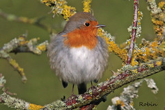 ROBIN // ERITHACUS RUBECULA (13cm) (tom webzell) Tags: naturethroughthelens
