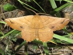Euchlaena sp. (tigerbeatlefreak) Tags: euchlaena moth insect lepidoptera geometridae nebraska