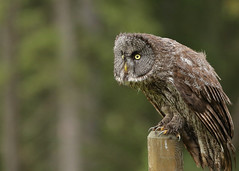 Great Gray Owl...#14 (Guy Lichter Photography - 5.3M views Thank you) Tags: canon 5d3 canada alberta wildlife animal animals bird birds owl owls greatgrayowl post claws talons bokeh