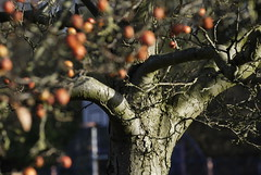 berries on tree (zazaginz) Tags: outoffocus red nopeople winter graveyard berries tree
