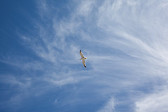 Bird in Flight, Barcelona (Geraint Rowland Photography) Tags: seagull bird animal nature birds gull agullinflightabovethebeachandoceaninbarcelona catalonia spain europe wwwgeraintrowlandcouk space openspace copyspace screensaver gettynatureimages bcn barna visitbarcelona naturephotography canon canonespana natgeouk ngtuk travel fly clouds environment