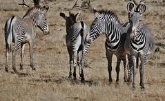 Dig Those Crazy Stripes!!! - Grévy's zebra (Equus grevyi) (Susan Roehl) Tags: kenya2015 lewawildlifeconservancy kenya eastafrica grevyszebra equusgrevyi imperialzebra largestwildequine mostendangered ethiopia tall largeears stripesnarrower semiaridgrasslands feedsongrasses legumes browse animal mammal herbivore fivedayswithoutwater doesnotliveinharems populationstable sueroehl photographictour naturalexposures panasonic lumixdmcgh4 100400mmlens handheld sunrays5 ngc coth5