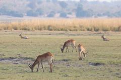 Red Lechwe Herd (peterkelly) Tags: digital canon 6d africa intrepidtravel capetowntovicfalls botswana chobenationalpark grassland choberiver redlechwe antelope grazing eating