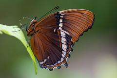 Brown beauty (Rene Mensen) Tags: butterfly brown orange zoo emmen d5600 nikon nikkor nature wildlands insect schmetterlinge mariposa macro micro wings naturephotography natuur