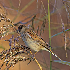 Reed Bunting (PDKImages) Tags: reedbunting bunting bird avian wildlife reeds nature camouflage feathers rspb rspboldmoor outdoors water