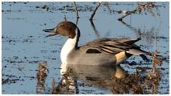 Drake Pintail. (Jeremy Eyeons) Tags: anasacuta pintail duck drake winter handsome bird rspb freistonshore lincolnshire