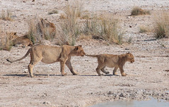 Catch A Lion By The Tail (peterkelly) Tags: digital canon 6d africa intrepidtravel capetowntovicfalls namibia etoshanationalpark lioness lion cub grabbing tail waterhole wateringhole water