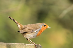 Robin (drbut) Tags: robin erithacusrubecula avian chats bird birds farmland countryside wildlife nature