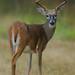 deer_holly_ridge-1