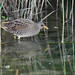 Spotted crake 2018-09-08_06
