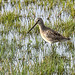 Long-billed Dowitcher 2018-09-30_04