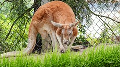 Kangourou - 7829 (✵ΨᗩSᗰIᘉᗴ HᗴᘉS✵84 000 000 THXS) Tags: kangourou animal nature pairidaiza belgium europa aaa namuroise look photo friends be yasminehens interest eu fr party greatphotographers lanamuroise flickering challenge sony sonydscrx10m4