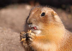 Gopher...#6 (Guy Lichter Photography - 5.5M views Thank you) Tags: canon 50d canada manitoba winnipeg assiniboineparkzoo animal animals rodent rodents gopher tongue teeth leaf paws claws