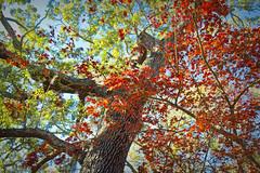 Savannah Autumn I (paulgarf53) Tags: fall autumn colors leaves savannah georgia trees nature topaz topazstudio2 nikon d700