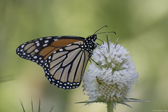 Butterfly 2019-184 (michaelramsdell1967) Tags: butterfly butterflies macro nature animal animals insect insects monarch monarchs orange green black white beauty beautiful pretty lovely vivid vibrant detail delicate closeup upclose wings bug bugs meadow thistle zen wildlife