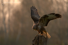 Poiana - Common buzzard (Buteo buteo - Linnaeus, 1758) (Bradiponi) Tags: birdsofprey eagle brown autumn goldenhour wings spread orange warmlight brunch perch
