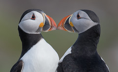 Puffin (Gary Vause) Tags: atlanticpuffin farnes nationaltrust islands seabird seaparrot kissing