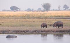 Hippopotamus Family (peterkelly) Tags: digital canon 6d africa intrepidtravel capetowntovicfalls botswana chobenationalpark choberiver water river shore shoreline hippo hippopotamus commonhippopotamus tree baby grass grassland