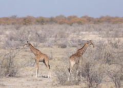 Back-To-Back Giraffes (peterkelly) Tags: digital canon 6d africa intrepidtravel capetowntovicfalls namibia etoshanationalpark landscape southerngiraffe tree shrub blue sky