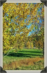 Tenda dorata 🍂🍃🍁 (color raimbow) Tags: goldenleaves trees autumn autumnview greengrass longshadows bluesky sunnymorning italy beautifulnature beautifulview landscape