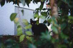 猫 (fumi*23) Tags: ilce7rm3 sony sel35f18f emount 35mm feline fe35mmf18 a7r3 animal alley cat chat neko gato street ねこ 猫 ソニー 黒猫