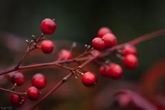 南天 (fumi*23) Tags: ilce7rm3 sony sigma sigma70mmf28dgmacro 70mm emount plant nandina red a7r3 macro macrolens bokeh dof 植物 ソニー シグマ 南天 実