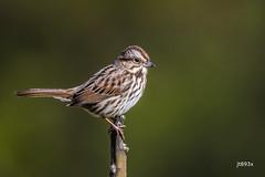 Song Sparrow (jt893x) Tags: 150600mm bird d500 jt893x melospizamelodia nikon nikond500 sigma sigma150600mmf563dgoshsms songsparrow songbird sparrow