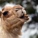 camel_teeth006