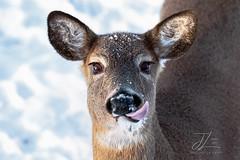 Monday (Jenna Lynn Photography) Tags: monday macromonday doe whitetail deer tongue lick canon snow winter december wildlife nature abigfave