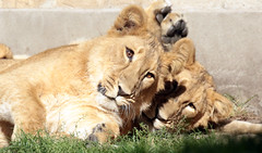 asiatic lion Blijdorp BB2A0820 (j.a.kok) Tags: animal blijdorp azie asia aziatischeleeuw asiaticlion asianlioncub predator mammal zoogdier dier leeuw lion