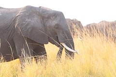 Big Grazer (peterkelly) Tags: digital canon 6d africa intrepidtravel capetowntovicfalls botswana chobenationalpark choberiver savannaelephant elephant trunk eating grassland grass tusk savannahelephant