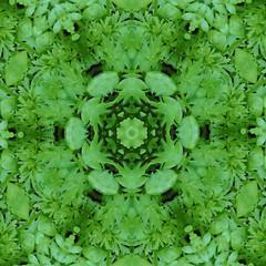 Kaleidoscopic effect (amy's antics) Tags: wah wearehere plant garden weedpatch green leaves kaleidoscopeeffect