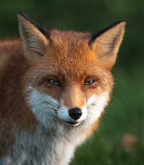 Dear Flo (susie2778) Tags: panasonic dcg9 panasonic200mmf28leicadgelmaritpoweroislens britishwildlifecentre bwc fox vixen