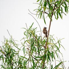 Zonotrichia capensis (fritz polesny) Tags: zonotrichia capensis panasonicg9 100400mm buenos aires argentinia bird