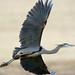 big blue heron-3
