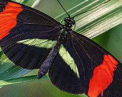 Postman Butterfly on a Leaf (Stephen G Nelson) Tags: insect butterfly postman botanicalgarden tucson arizona