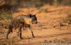 Brown Hyena (Alastair Marsh Photography) Tags: brownhyena hyena rare mammal mammals predator okonjima nature naturereserve animal animals animalsintheirlandscape sunlight sun sunshine sunset dusk africa africanwildlife africanmammal africanmammals wildlife photography wildlifephotography