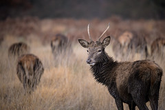 Red deer (JMZ Photos) Tags: nature national ftz tree 300mm f4 pf z6 red deer nikon nikkor wildlife outside bokeh