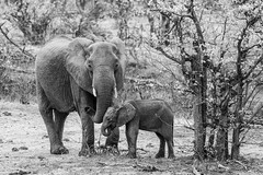 Mother and calf (-savoche-) Tags: baby kruger southafrica elephant