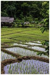 Pai Thailand (dik34) Tags: thailand ricefields travel nature landscape asia green rice