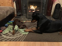 Dobermans Kaiser And Saxon - Sharing One Of My Shirts (firehouse.ie) Tags: